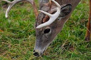 Muzzleloader hunting for whitetail deer.